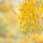 Golden Shower ( cassia Fistula ) by rajeshbac