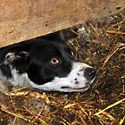 sheepdog under a sheep pen by neil harrison