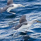Racing Albatrosses - New Zealand by Kimball Chen