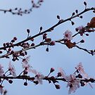 Cherry Blossoms by bruxeldesign