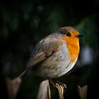 Rachel's  Robin  by Chrissie Taylor