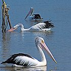 Bega River Pelicans by Yukondick