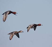 Red-Head Ducks Inflight - Presqu'ile, Ontario by Stephen Stephen