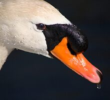 Mute Swan Head Shot by Adam Bykowski