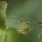 Hi Mantis by Tom McDonnell
