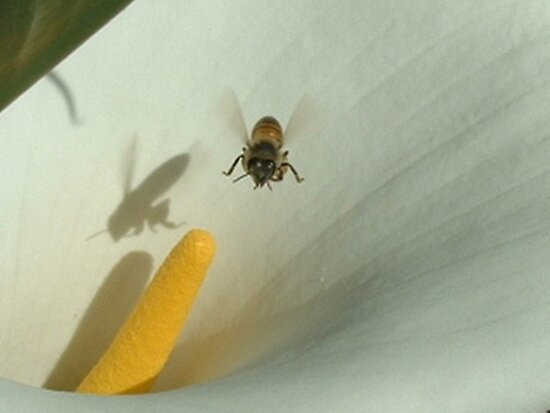The Hoverfly and the Zantedeschia by Maree  Clarkson