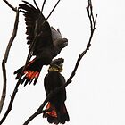 Glossy Black Cockatoos by Kim Roper