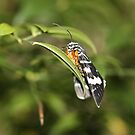 Australian Grape Vine Moth by dilouise