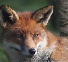 Fox stare by Peter Barrett