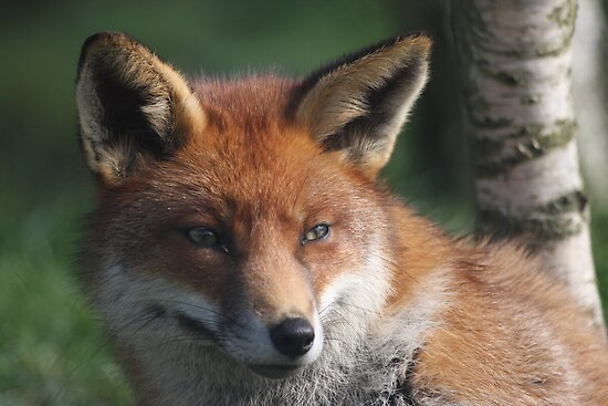 Fox stare by Peter Barrett