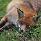 Sleepy Fox by Peter Barrett