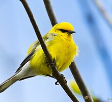 Blue-winged Warbler by PixlPixi