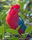 King Parrot (Alisterus scapularis) at Pebbly Beach by Yukondick