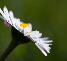 Shallow Daisy by Karen Havenaar