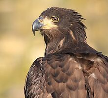 Young Sea Eagle by DutchLumix