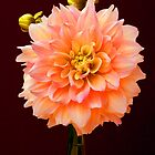 Peach Dahlia by ©  Paul W. Faust