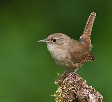 House Wren by Michaela Sagatova