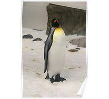 King Penguin, Melbourne Aquarium. Poster