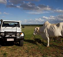 Big Brahman Bullock by Carmel Williams