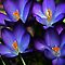 2 in &#39;Crocus and/or bluebells&#39; challenge of group &#39;Flowering Bulbs&#39;