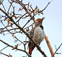 Northern Flicker - Kyeer call  by amontanaview