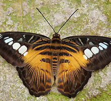 the BROWN CLIPPER  (Parthenos sylvia) by Johan  Nijenhuis