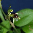 Chiloglottis sylvestris by orkology
