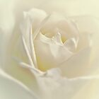 Soft White Rose by Aj Finan
