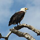 African Fish Eagle by Donald  Mavor