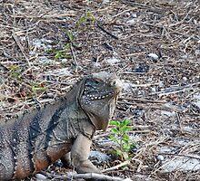 Green iguana by Jaime Pharr