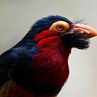 Black Beard the Pirate, Err...Bird. by tigerwings