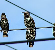 I Can See Clearly Now The Rain Has Gone- Starlings - NZ by AndreaEL