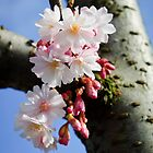 Cherry blossom by David Isaacson