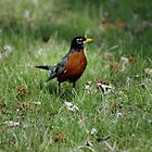 American Robin by astonishann