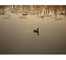 COOT IN BRONZE LIGHT Photographic Print