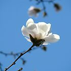 Blue Sky Floral art White Magnolia Flowering Tree Spring Baslee by BasleeArtPrints