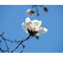 Blue Sky Floral art White Magnolia Flowering Tree Spring Baslee Photographic Print