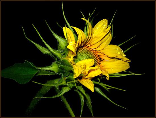sunflower by Helenvandy