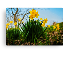 Daffodils Have Arrived Canvas Print