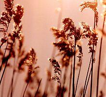 Backlit Reed - Denmark by Barnewitz