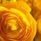 Ranunculus by rualexa