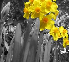 Daffodils @ Dad's  by Laura Mitchell