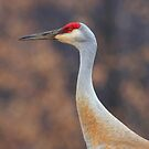 Sandhill Crane Portrait by Renee Blake
