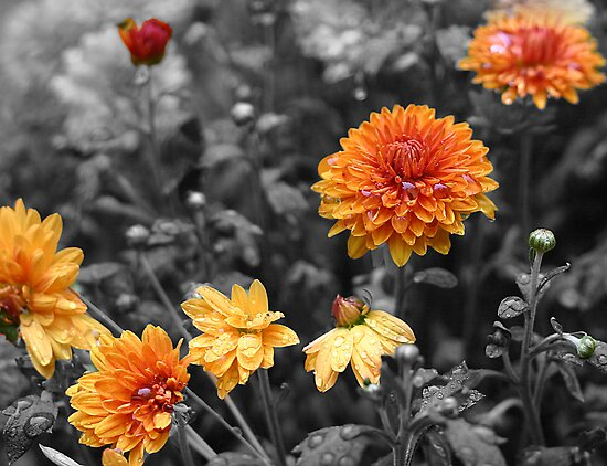Orange Mums - Selective Colour by Debbie Pinard