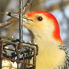 Red Belled Woodpecker by carolinagirl10