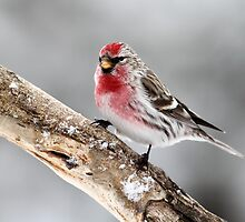 Vibrant Male / Common Redpoll by Gary Fairhead