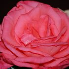 Pink Rose by Stormygirl
