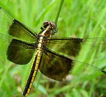 Dragonfly in a Sea of Green by lindsycarranza