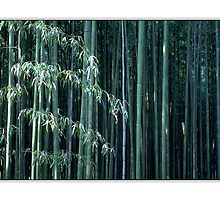 Bamboo Grove, Sagano, Japan by prbimages