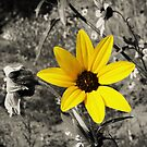 Black Eyed Susan by starbucksgirl26